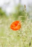 Κόκκινη παπαρούνα Wildflower σε ένα υπόβαθρο χλόης Στοκ Εικόνες