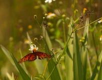 Κόκκινη πεταλούδα σε έναν τομέα των μαργαριτών στοκ εικόνα με δικαίωμα ελεύθερης χρήσης