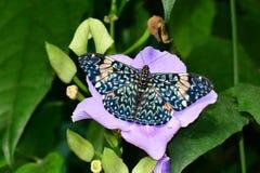 Κόκκινη πεταλούδα κροτίδων, aka, Hamadryas amphinome Στοκ Εικόνα