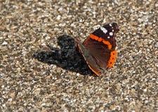 Κόκκινη πεταλούδα ναυάρχων Στοκ Εικόνες