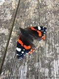 Κόκκινη πεταλούδα ναυάρχων στοκ φωτογραφίες με δικαίωμα ελεύθερης χρήσης