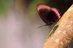 Κόκκινη πεταλούδα πλαισίων (underside) Στοκ φωτογραφίες με δικαίωμα ελεύθερης χρήσης