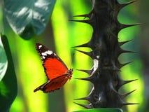 Κόκκινη πεταλούδα στον κάκτο αγκαθιών Στοκ Εικόνες