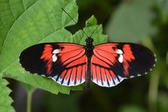 κόκκινη πεταλούδα Στοκ Εικόνες