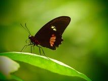 Κόκκινη πεταλούδα Parides Τροπική μακροεντολή εντόμων Ζωηρόχρωμο ζωικό υπόβαθρο Στοκ εικόνα με δικαίωμα ελεύθερης χρήσης