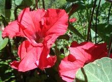 Κόκκινη πετούνια Ã- Atkinsiana βελούδου στοκ φωτογραφίες