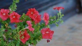 Κόκκινη πετούνια στον κήπο φιλμ μικρού μήκους