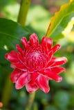 Κόκκινη πιπερόριζα φανών λουλουδιών Στοκ Εικόνες