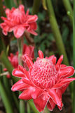Κόκκινη πιπερόριζα φανών λουλουδιών Στοκ εικόνες με δικαίωμα ελεύθερης χρήσης