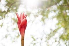 κόκκινη πιπερόριζα φανών λουλουδιών (elatior Etlingera, zingiberaceae) στο NA Στοκ φωτογραφία με δικαίωμα ελεύθερης χρήσης