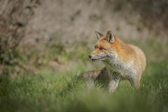 Κόκκινη προσοχή αλεπούδων Στοκ Φωτογραφίες