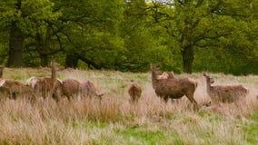 Κόκκινη προσοχή Deers στον τομέα φιλμ μικρού μήκους