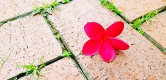 Κόκκινη πτώση Plumeria στο καφετί πάτωμα τίτλου με το διάστημα αντιγράφων Στοκ εικόνα με δικαίωμα ελεύθερης χρήσης