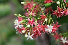 Κόκκινη, ρόδινη, άσπρη φύση λουλουδιών indicum Combretum Στοκ Φωτογραφία