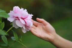 Κόκκινη ρόδινη ζωηρόχρωμη peony κατώτερη ηλιοφάνεια λαβής χεριών γυναικών θερινής άνοιξης φθινοπώρου όμορφο λουλούδι σκηνής τοπίο Στοκ εικόνες με δικαίωμα ελεύθερης χρήσης