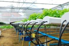 Κόκκινη δρύινη, πράσινη βαλανιδιά, hydroponics καλλιέργειας πράσινο λαχανικό Στοκ Φωτογραφία