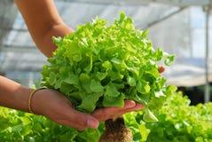 Κόκκινη δρύινη, πράσινη βαλανιδιά, hydroponics καλλιέργειας πράσινο λαχανικό Στοκ Εικόνες