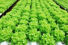 Κόκκινη δρύινη, πράσινη βαλανιδιά, hydroponics καλλιέργειας πράσινο λαχανικό Στοκ φωτογραφία με δικαίωμα ελεύθερης χρήσης