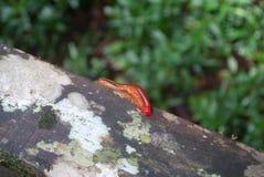Κόκκινη σαρανταποδαρούσα που σέρνεται στον ξύλινο φράκτη Στοκ Φωτογραφία