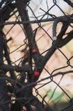 Κόκκινη σορβιά σε ένα δέντρο στοκ εικόνα
