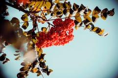 Κόκκινη σορβιά σε ένα δέντρο στοκ εικόνες