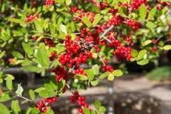 Κόκκινη σορβιά στον πράσινο κλάδο φύλλων Στοκ Φωτογραφία