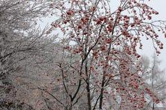 Κόκκινη σορβιά το χειμώνα στοκ φωτογραφία με δικαίωμα ελεύθερης χρήσης