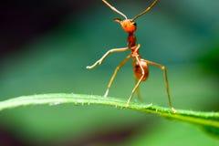 Κόκκινη στάση μυρμηγκιών στα πράσινα φύλλα Στοκ Εικόνες