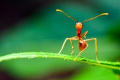Κόκκινη στάση μυρμηγκιών στα πράσινα φύλλα Στοκ Φωτογραφία