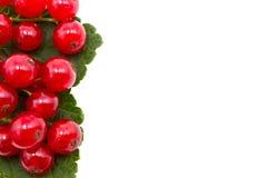 Κόκκινη σταφίδα με τα πράσινα φύλλα Στοκ Φωτογραφίες