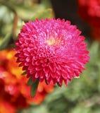 Κόκκινη στενή επάνω άποψη λουλουδιών αστέρων στοκ φωτογραφία με δικαίωμα ελεύθερης χρήσης