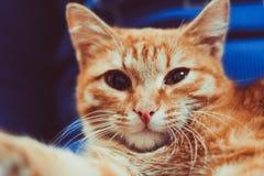 Κόκκινη συνεδρίαση γατών σε ετοιμότητα του Στοκ Εικόνες