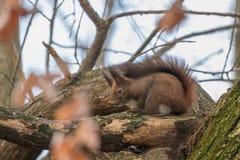 Κόκκινη συνεδρίαση σκιούρων σε ένα δέντρο, δασικός σκίουρος Sciurus φθινοπώρου vulgaris στοκ εικόνα με δικαίωμα ελεύθερης χρήσης