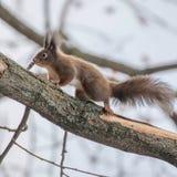 Κόκκινη συνεδρίαση σκιούρων σε ένα δέντρο, δασικός σκίουρος Sciurus φθινοπώρου vulgaris στοκ φωτογραφία με δικαίωμα ελεύθερης χρήσης