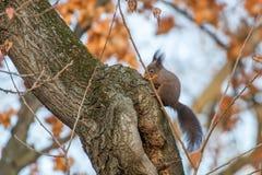Κόκκινη συνεδρίαση σκιούρων σε ένα δέντρο, δασικός σκίουρος Sciurus φθινοπώρου vulgaris στοκ εικόνες