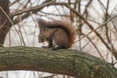 Κόκκινη συνεδρίαση σκιούρων σε ένα δέντρο, δασικός σκίουρος Sciurus vulgaris στοκ εικόνες με δικαίωμα ελεύθερης χρήσης