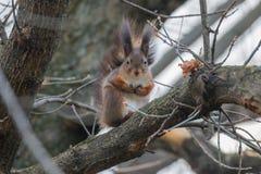 Κόκκινη συνεδρίαση σκιούρων σε ένα δέντρο, δασικός σκίουρος Sciurus vulgaris στοκ φωτογραφίες