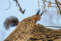 Κόκκινη συνεδρίαση σκιούρων σε ένα δέντρο, δασικός σκίουρος Sciurus vulgaris στοκ φωτογραφίες με δικαίωμα ελεύθερης χρήσης