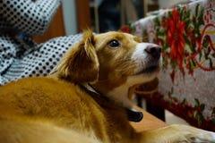 Κόκκινη συνεδρίαση σκυλιών στον καναπέ στοκ εικόνες