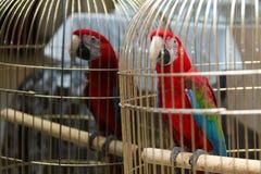 Κόκκινη συνεδρίαση του Μακάου ara σε ένα χρυσό κλουβί Στοκ Εικόνες