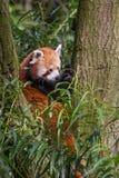 Κόκκινη συνεδρίαση Ailurus panda fulgens στο δέντρο Στοκ Φωτογραφία