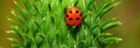 Κόκκινη συνεδρίαση ladybug σε έναν οφθαλμό κάρδων Στοκ εικόνες με δικαίωμα ελεύθερης χρήσης