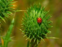 Κόκκινη συνεδρίαση ladybug σε έναν οφθαλμό κάρδων Στοκ φωτογραφίες με δικαίωμα ελεύθερης χρήσης
