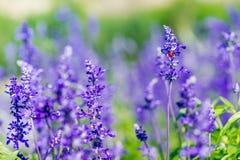 Κόκκινη συνεδρίαση λαμπριτσών όμορφο πορφυρό και ιώδες lavender Στοκ Φωτογραφίες