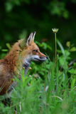 Κόκκινη συνεδρίαση αλεπούδων στη χλόη Στοκ εικόνα με δικαίωμα ελεύθερης χρήσης