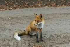 Κόκκινη συνεδρίαση αλεπούδων Στοκ εικόνα με δικαίωμα ελεύθερης χρήσης