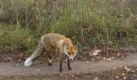 Κόκκινη συνεδρίαση αλεπούδων Στοκ φωτογραφία με δικαίωμα ελεύθερης χρήσης