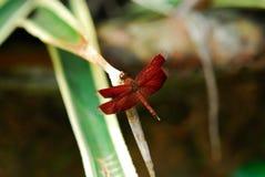 Κόκκινη συνεδρίαση λιβελλουλών που στηρίζεται στο πράσινο φύλλο στον κήπο Στοκ φωτογραφία με δικαίωμα ελεύθερης χρήσης