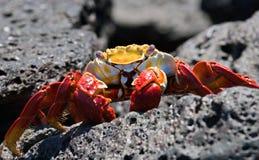 Κόκκινη συνεδρίαση καβουριών στους βράχους galapagos νησιά ωκεάνιος ειρηνικός Ισημερινός στοκ φωτογραφία με δικαίωμα ελεύθερης χρήσης