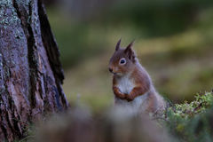 Κόκκινη συνεδρίαση σκιούρων κατακόρυφα από τη βάση του δέντρου πεύκων Στοκ Φωτογραφίες